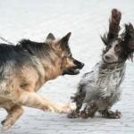 драка собак