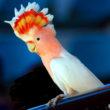 Говорящие породы попугаев