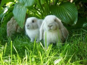 содержание карликовых кроликов