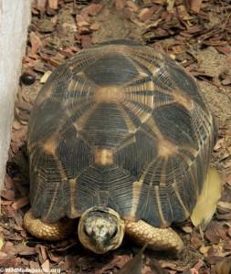 Клювогрудая черепаха