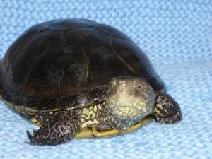 Домашняя Болотная Европейская черепаха