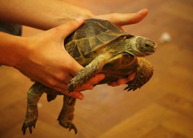 Спячка у сухопутных черепах в домашних условиях - Домашний Очаг - Полезные советы Онлайн