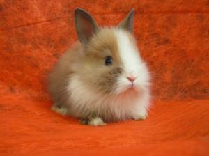 Декоративные кролики не требуют специального ухода