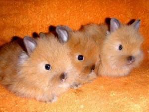 История карликовых кроликов
