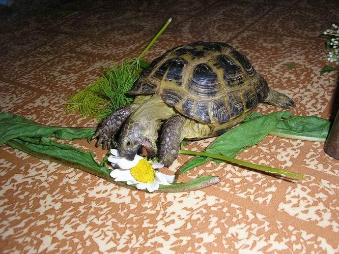 Черепахи водяные в домашних условиях