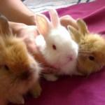 Уход за домашним кроликом