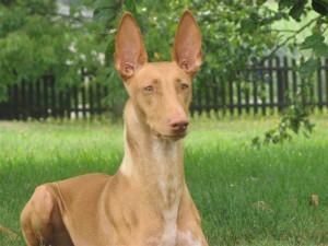 Собака фараонов