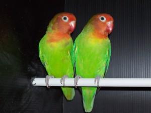 Разлучаем неразлучных попугаев