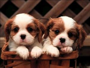Уход за ушами собаки