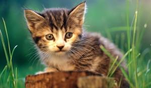 о домашних кошках