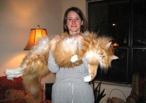 Дикая кошка породы мейн-кун