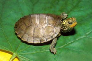 Замшелый панцирь черепахи