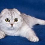 Шотландские вислоухие кошки