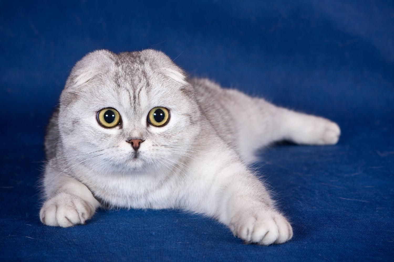 Питомник шотландских кошек Snow city