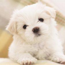 Преданность собак