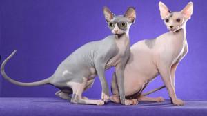 Мир кошек сфинкс
